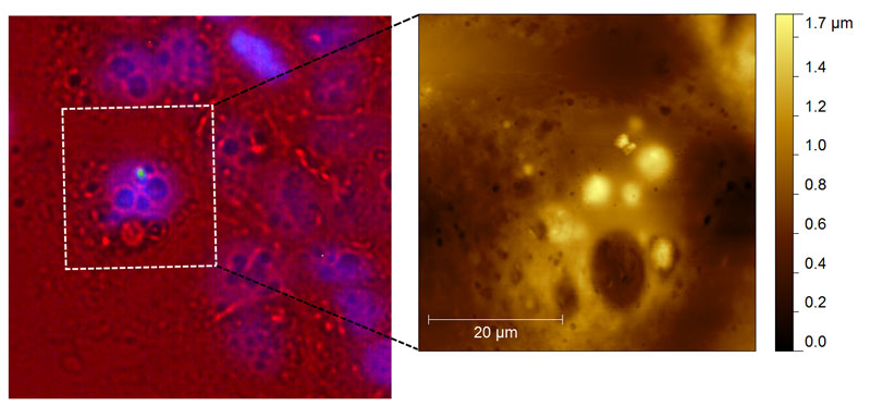 Epifluorescence and topographic Atomic Force Microscopy image of Caco-2 and quantum dots